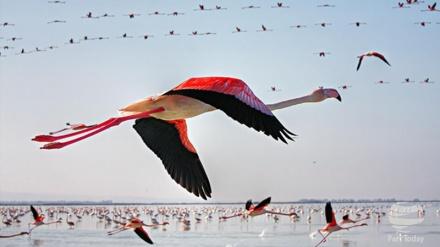 ڈاکومینٹری - کسپین کے پرندے