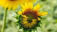 Suncokret; polje sunca