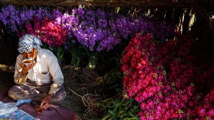 Huzestan, branje proljetnog cvijeća