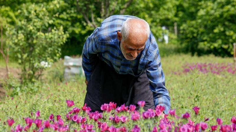 Gilan, berba gavezova cvijeta