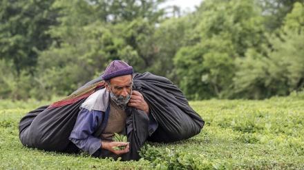 Gilan, berba zelenog čaja