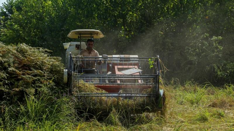 Gilan i Mazandaran, berba riže